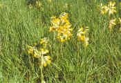 Photo of cowslips in churchyard